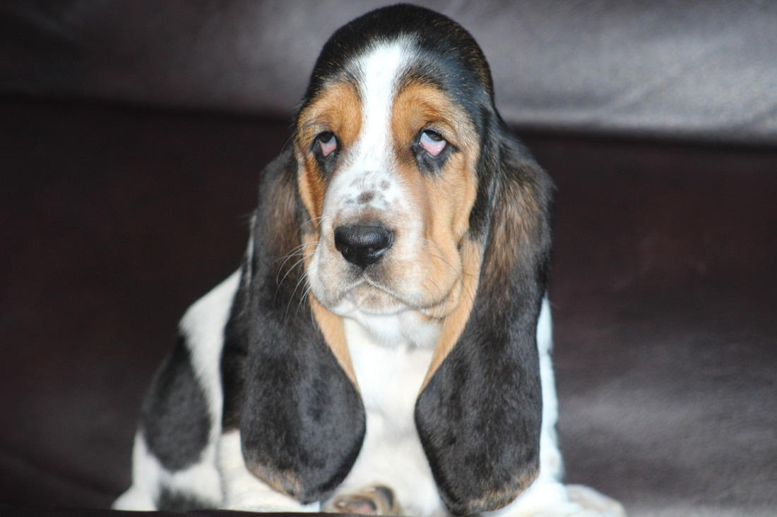 Huffs Hounds Akc Basset Hound Puppies For Sale In Georgia